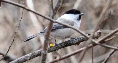 Willow Tit - borealis