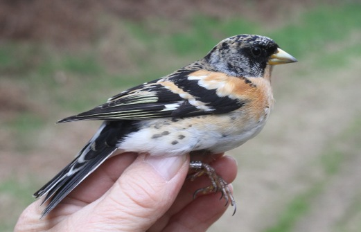 Brambling, Cockley Cley