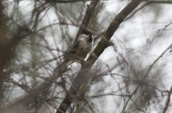 Willow Tit, male Swaffham Forest