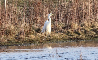 Great White Egret, Pentney 16th March