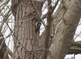 Lesser-spotted Woodpecker 17th April