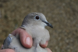 Collared Dove, Cockley Cley