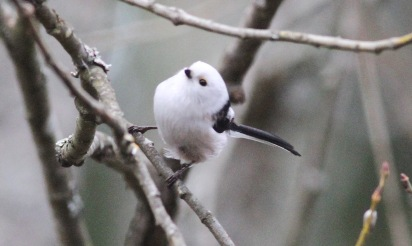Long-tailed Tit - caudatus