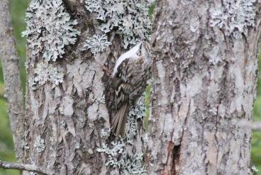 Northern Treecreeper - macrodactyla