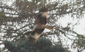Red Kite, Cockley Cley 10th April
