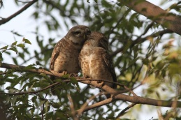 Spotted Owlets