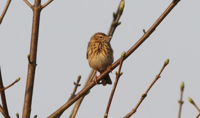 Tree Pipit, Cockley Cley 11th April
