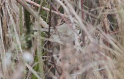 Siberian Chiffchaff, Nar Valley Fisheries 1st January