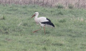 White Stork, Wormegay 10th March