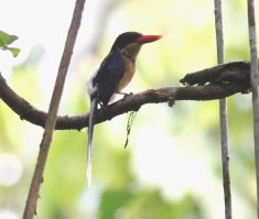 Black-capped Paradise Kingfisher