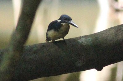 Bismark Kingfisher