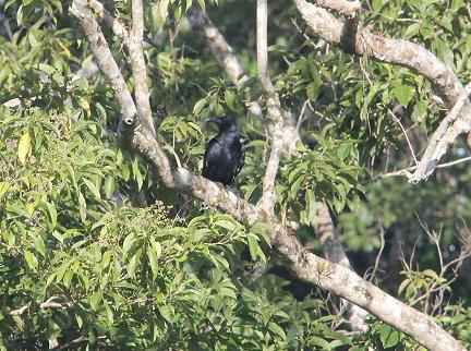 Bougainville Crow