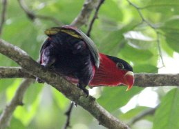 Eastern Black-capped Lory
