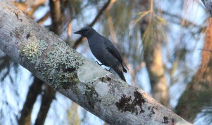 Grey headed Cuckoo shrike