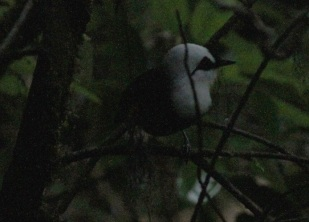 Sumatran Laughingthrush - very difficult to photograph
