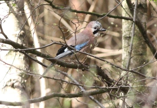 Jay, Swaffham Forest 19th April