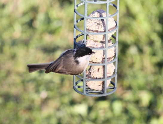 Marsh Tit, Cockley Cley 19th April