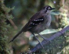 Northern Scrub Robin