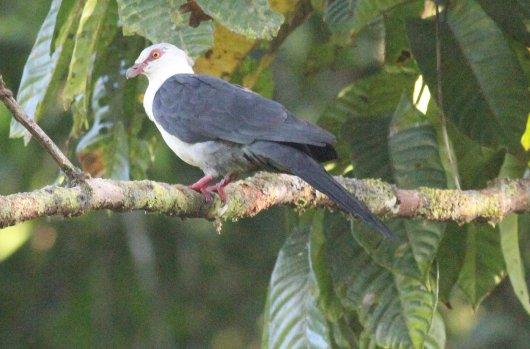 Pied Cuckoo Dove