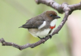 Red-banded Flowerpecker