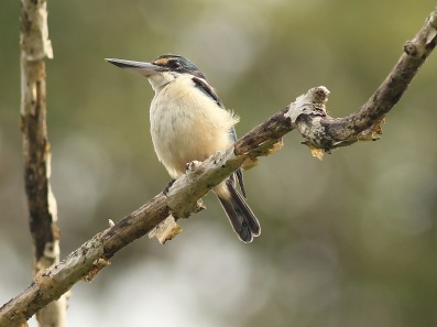 Sacred Kingfisher on New Britain
