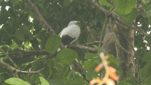 Silvery Pigeon