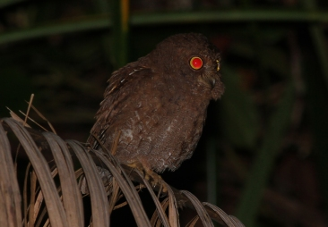 Simeulue Scops Owl