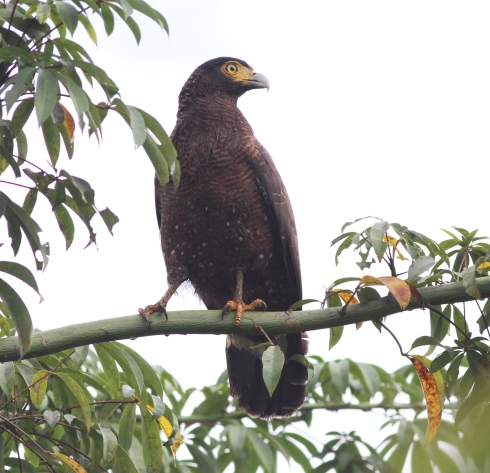 Simeulue Serpent Eagle