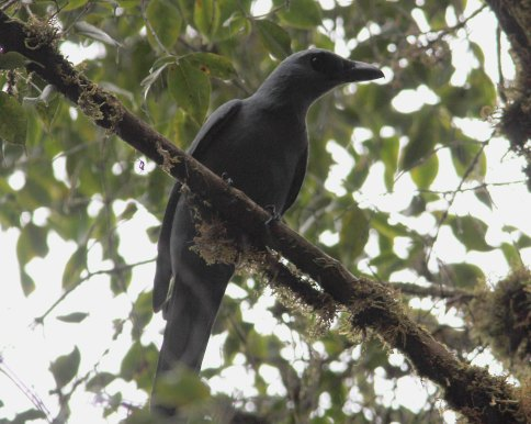 Stout-billed Cuckoo-shrike