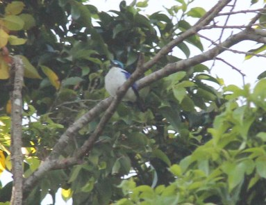 White-mantled Kingfisher