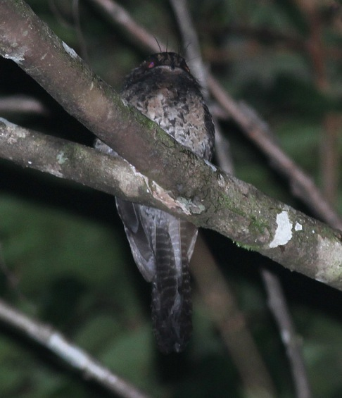 Wallace's Owlet-nightjar