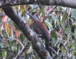 Sumatran Woodpecker