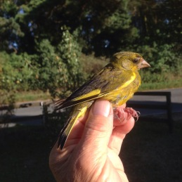 Greenfinch, Cockley Cley 27th August