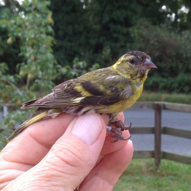 Siskin, Cockley Cley 27th August