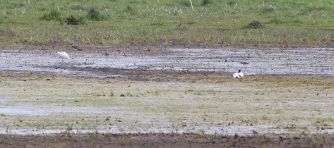 Avocet and Wood Sandpiper, Wormegay Flash 6th May