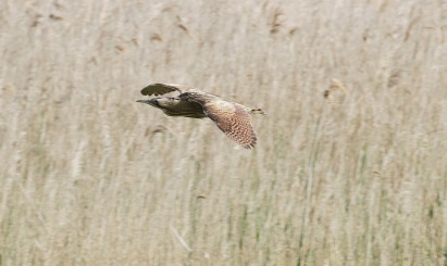 Bittern, Lakenheath Fen, 28th May