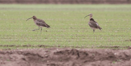 Curlew, Hilbrough Estate
