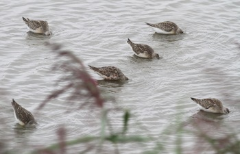 Curlew Sandpiper, Titchwell 28th August