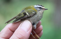Firecrest female, Swaffham Forest 15th May