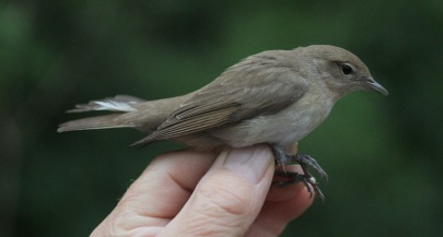 Garden Warbler, Drymere 6th June