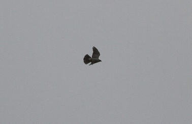 Goshawk over my house in Cockley Cley 30th May