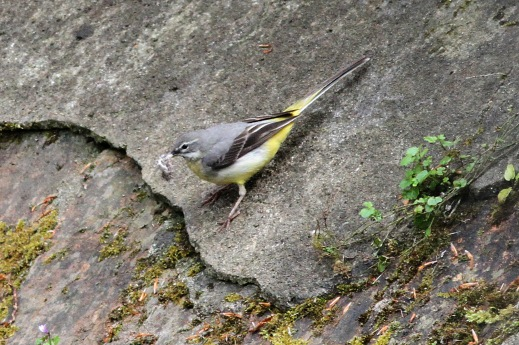 Grey Wagtail, Narbrough 16th May