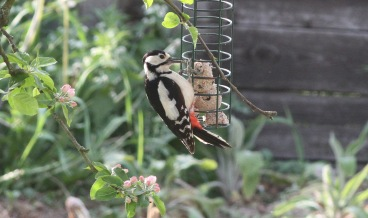 Great-spotted Woodpecker, Cockley Cley 11th May