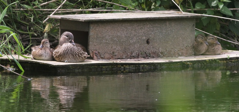 Mandarin, Santon Downham 11th June