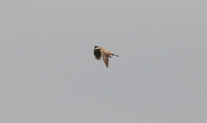 Marsh Harrier, Cockley Cley 13th May