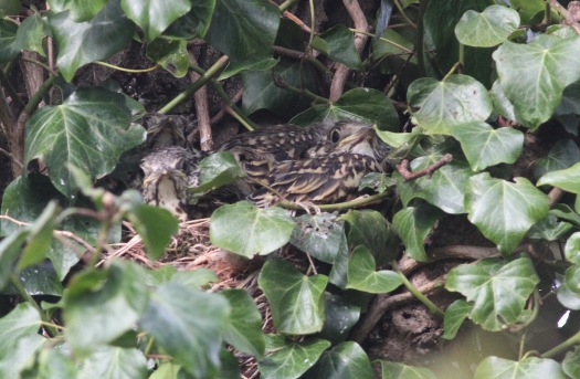 Mistle Thrush chicks, Cockley Cley 8th May
