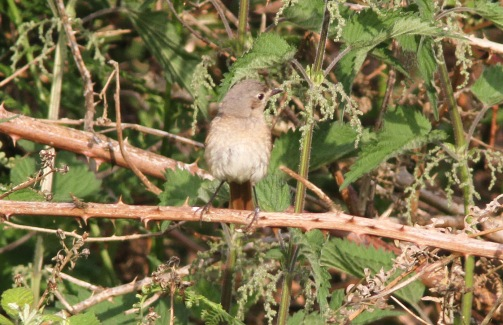 Redstart, Santon Downham 18th June