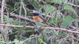 Redstart, Santon Downham 19th June