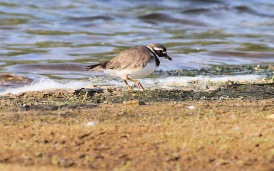Tundra Ringed Plover, Pentney 14th May