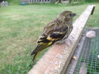 Siskin, juvenile, Cockley Cley 11th June